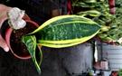 活體 [黃金虎尾蘭 黃金虎皮蘭] 室內植...