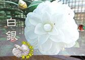 [白銀茶花苗] 3吋 新品種觀賞茶花盆栽 活體花卉盆栽 半日照 需換盆才會比較快開花