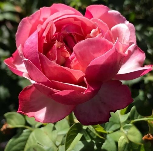花花世界_玫瑰苗--科德斯慶典,Kordes' Jubilee--雙色玫瑰/4吋盆苗/高10~30公分/Tm