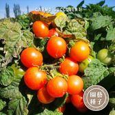 CARMO矮性櫻桃番茄種子 園藝種子(30顆) 【FR0016】