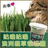 *WANG*澳洲咕嚕咕嚕貓草培育罐-350ml