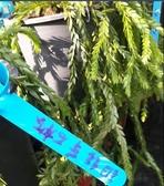 水生植物 ** 銅錢草石松 ** 5吋盆/ 俗稱金錢草【花花世界玫瑰園】S