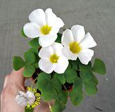 [白色 芙蓉榨醬草 大花幸運草] 3寸盆 室外花卉 多年生觀賞花卉盆栽