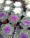 花花世界_季節花卉--葉牡丹(不挑色),葉緣成波浪狀--耐寒力超強/5吋盆/高15-20公分/Tm