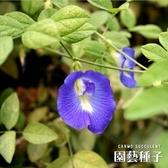 〔台灣小農〕CARMO蝶豆花種子 園藝種子(10顆) 夏日【FR0004】