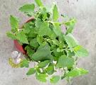 [大盆 貓薄荷]  香草植物 貓薄荷貓大麻盆栽 5吋盆活體盆栽, 可食用可泡茶 曬乾貓咪聞到會很興奮