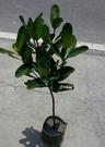 花花世界_喬木圍籬--福木 ,藤黃科品名--樹姿優美/8吋盆苗/高約3尺/Tm