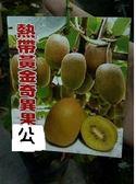 花花世界_水果苗-- 熱帶黃金奇異果(公)-- 酸酸甜甜/4吋盆/ 高20-35公分/TS