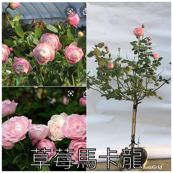 1箱限1盆[草莓馬卡龍] 8吋盆嫁接樹玫瑰花盆栽 幾乎四季開花~務必先問有沒有貨~花牆.庭院拱門