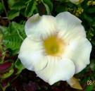 花花世界_綠籬植物--武藤香水紅桂花--四季紅桂--花色橙紅色/8吋盆/高約30~50cm/TS