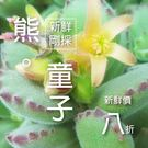 CARMO自收熊童子多肉植物種子 (10顆裝)【G11】