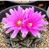 ⓒ龜甲牡丹種子 (5顆裝) 多肉植物/仙人掌種子【D42】