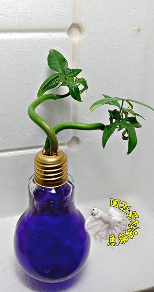 紫色水晶泥 [玻璃燈泡瓶+水耕彎曲發財樹 馬拉巴栗 美國花生 發財樹盆栽] 辦公室植物