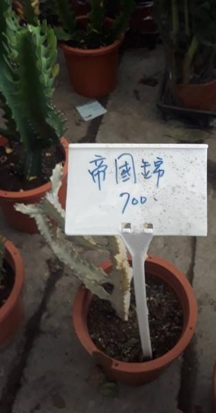 多肉.仙人掌 ** 帝國錦 ** 7吋盆/高30-40cm /又稱白化帝錦【花花世界玫瑰園】S