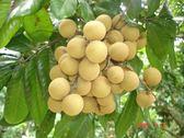 [苗栗]採果體驗-義芳農場(龍眼、柚子、金桔、柑橘)