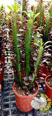[彩雲閣仙人掌] 5-7寸大盆 活體大型仙人掌盆栽 多肉植物盆栽 送禮盆栽 室外半日照佳