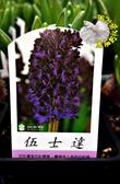[伍士達] 超香 深紫色風信子 2.5寸盆 室內濃香花卉 多年生球根類觀賞花卉盆栽