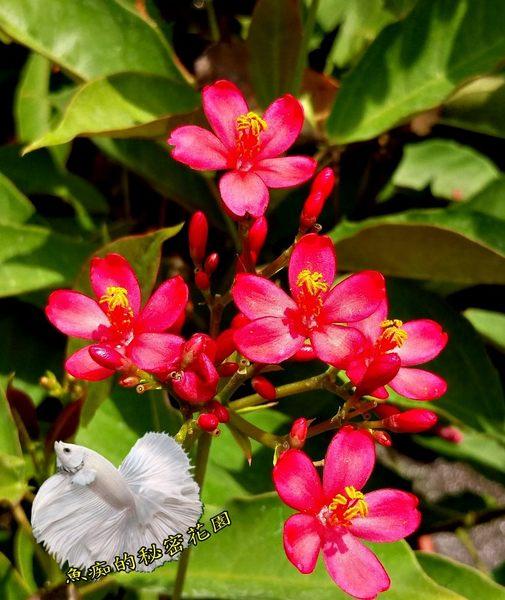 [日日櫻盆栽] 室外植物 5-6吋活體花卉盆栽 送禮小品盆栽