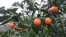 [台中]採果體驗-水寨一方農場(甜柿、桶...