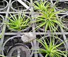 [白花紫水晶] 活體空氣鳳梨 空鳳植栽 ...