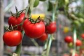 [台中]採果體驗-優恩蜜溫室果觀光果園(番茄)