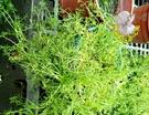 [大 洋甘菊盆栽 黃春菊] 5-6吋盆活體香草植物盆栽, 可食用可泡茶