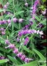 花花世界_香草植物--墨西哥鼠尾草--俗名預言者鼠尾草/5吋盆/高20-35cm/Ts