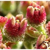 ⓒMesembryanthemum crystallinum種子 (10顆裝)【E41】