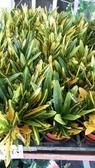 花花世界_綠籬植物-- 金手指變葉木--鮮豔明亮~1組10棵/3吋/高10-15公分/Tm