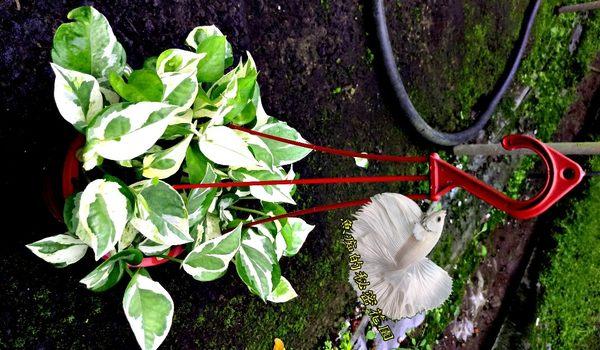 [白金葛 白斑黃金葛盆栽] 5吋吊盆 活體盆栽 室內半日照環境佳皆可 , 送禮盆栽