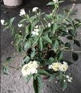 花花世界_綠籬植物--馬櫻丹(白色)--超易開花適應力佳/6吋盆/ 高20-30公分 /TS