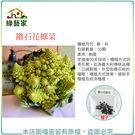 【綠藝家】B14.鑽石花椰菜種子50顆...