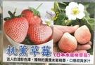 [日本水蜜桃草莓 桃薰草莓] 5-6寸盆...