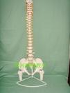 80CM自然大軟脊椎帶盆骨模型 一比一比例脊柱模型頸胸椎腰椎骨盆