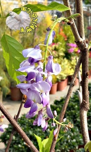 [日本紫藤盆栽 日本紫藤樹苗 ] 4-5吋黑軟盆 多年生開花植物盆栽~ 送禮盆栽 ~半日照佳