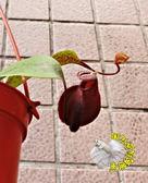 新品種深紅色蘋果豬籠草3 吋吊盆食蟲植物豬籠草盆栽送禮 生態觀察教學盆栽會補食昆蟲