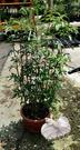 [大芳香萬壽菊] 5吋盆 室外植物活體盆栽 觀賞花卉盆栽 葉片具強烈香味. 種多可防蚊. 也可以泡茶