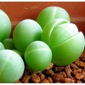 X銀光玉種子 (10顆裝)  進口多肉植物種子 生石花【A11】