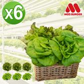 (免運)MOS摩斯漢堡 水耕蔬菜 奶油波士頓萵苣(180g/包)3包.紅橡木萵苣(150g/包)3包嘗鮮組贈和風醬1入