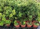花花世界_圍籬植物--刺葉冬青--葉色亮麗 葉型動人/5-6吋盆/高20-25cm/TS