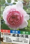 花花世界_玫瑰苗--威基伍德,The Wedgwood Rose--/4吋盆苗/高10~30公分/Tm