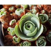 ⓒ山地玫瑰玉翁種子 (10顆裝) x Carmo專屬多肉園 進口多肉植物種子【C54】