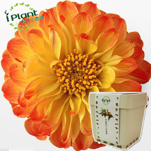 iPlant積木農場-大理花