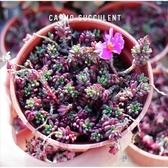 CARMO紫米飯多肉植物成株(3吋) 紫米【Z0036】