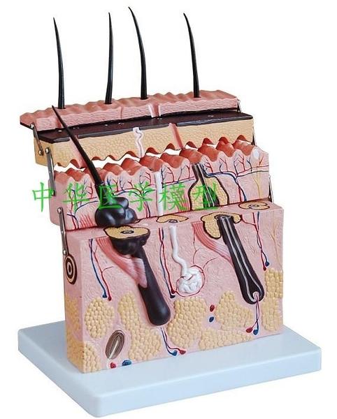 放大版人體皮膚組織結構解剖模型 表皮真皮微創皮膚美容 整形教學