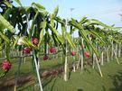 [高雄]採果體驗-安康美之農無毒農園〔6-11月火龍果、全年度木瓜〕