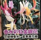 花花世界_爬藤植物*--香水彩虹金銀花--*可以提煉香水/8吋盆/高60-70cm/TS(建議宅配)