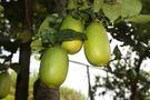 [台中]採果體驗-蜻蜓谷休閒農場(檸檬)...