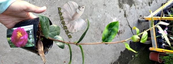 [黑牡丹茶花苗] 3.5吋 觀賞茶花盆栽 活體花卉盆栽 半日照 需換盆才會比較快開花