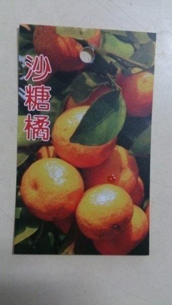 水果苗 ** 砂糖橘 (沙糖橘) ** 4.5吋盆/高30-50cm/甜度可達14度【花花世界玫瑰園】m